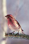 Purple Finch, Carpodacus purpureus, male, perched on pine tree branch, pink colours.