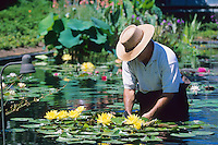 Gardener, tending to his waterlilies, New Jersey