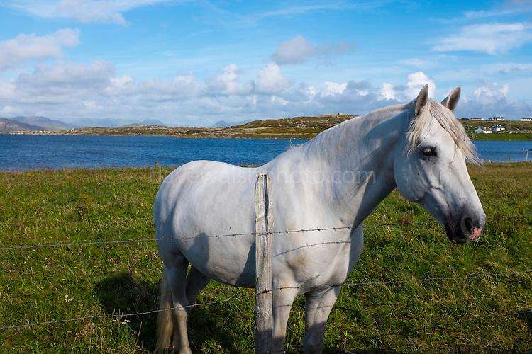 Connemara pony, in a field near Cleggan, Galway, Ireland