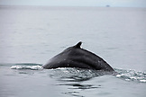 USA, Alaska, Seward, a Humpback whale spotted while exploring Resurrection Bay on the way to Holgate Glacier