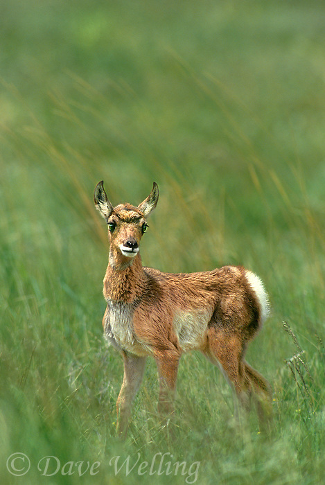 673088611 a wild young pronghorn antelope antilocarpa americana stands in a grassy meadow in yellowstone national park wyoming united states