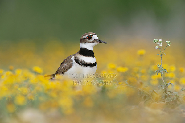 Killdeer (Charadrius vociferus), adult among Dogweed (Dyssodia pentachaeta), Laredo, Webb County, South Texas, USA