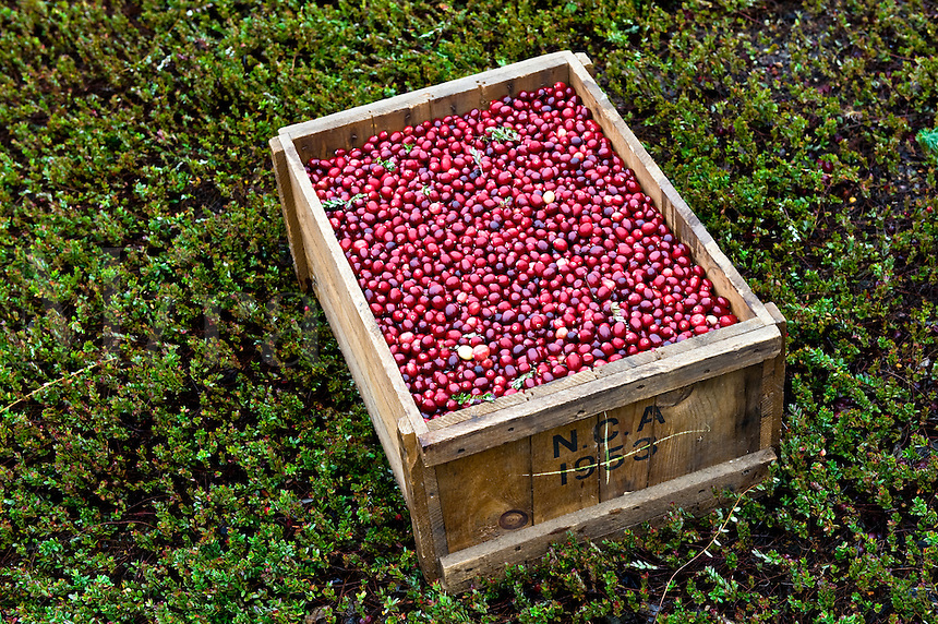 Box of fresh picked cranberries sitting in a dry cranberry bog.
