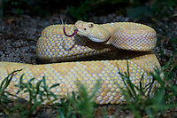 467010078 a captive albino western diamondback rattlesnake crotalus atrox senses the environment with its tongue species is native to the southwestern and western united states
