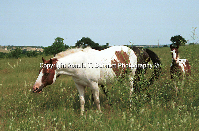 Horses graze with mare and colt, Curious colts, colts, wild horse, Horse, ponies, mares, stallion, saddle, Equus ferus caballus, domestic horse, yearling, colt, filly, gelding, pony, thoroughbred,Animal, wild animals, domestic animals,  Fine Art Photography, Ronald T. Bennett (c) Fine Art Photography by Ron Bennett, Fine Art, Fine Art photography, Art Photography, Copyright RonBennettPhotography.com ©