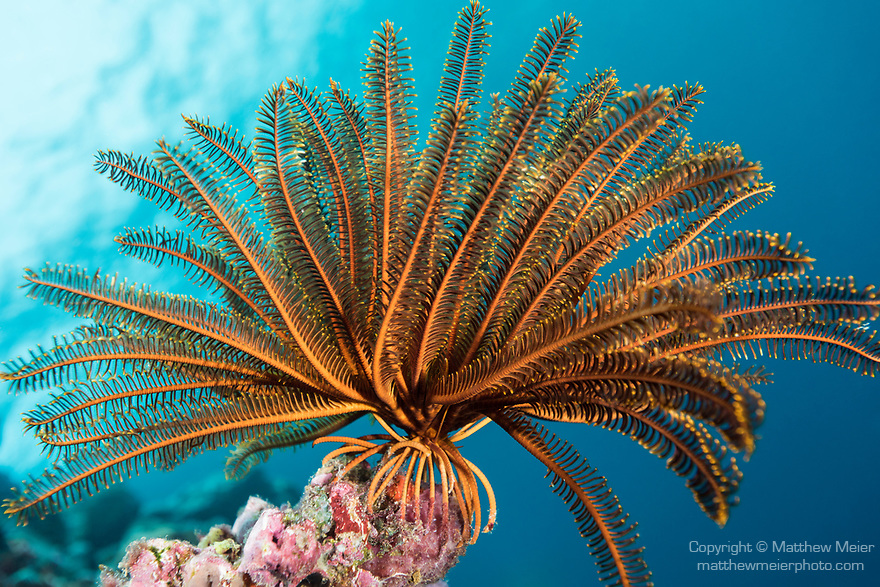 Russell Islands, Solomon Islands; an orange crinoid feather star attached to the colorful reef wall with blue water in the background and the sun overhead