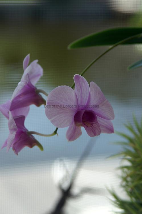 A lavender Dendrobium