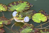 Teichfrosch, Teich-Frosch, Grünfrosch, Wasserfrosch, Frosch, Frösche, Pelophylax esculentus, Rana kl. esculenta, European edible frog, common water frog, green frog, La Grenouille verte, la Grenouille comestible