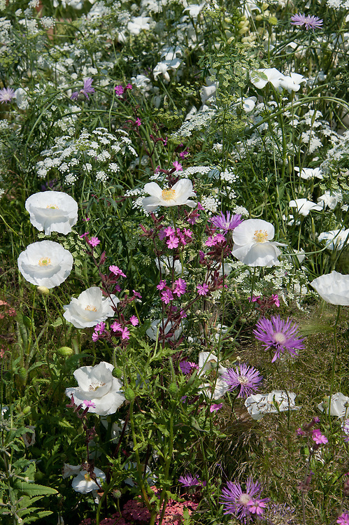 Mixed planting of Papaver rhoeas 'Bridal White', Ammi major, Silene dioica (Red campion) and Centaurea dealbata (Cornflower), early July.