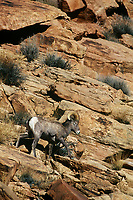 678507946 a wild bighorn sheep ram ovis canadensis clambers down a rocky incline in arches national park utah