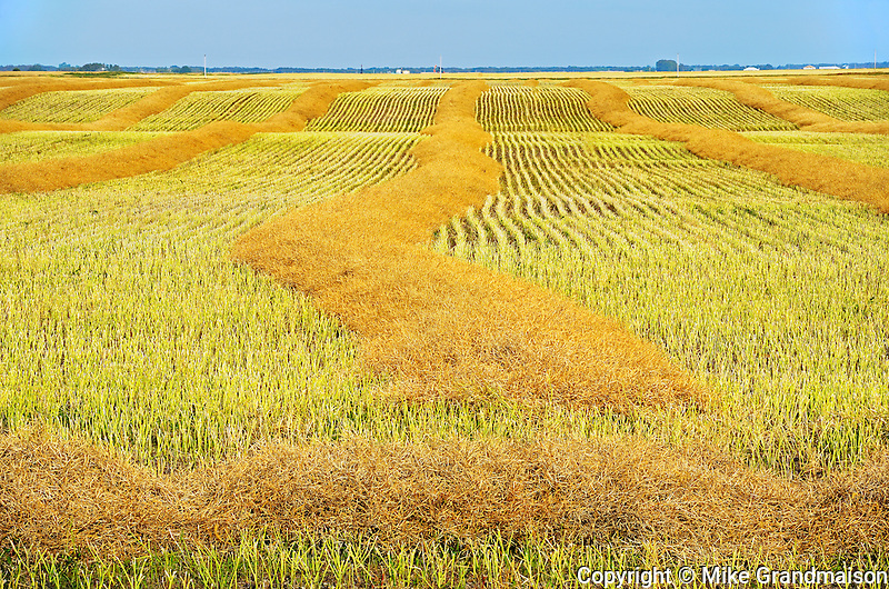 Canola crop<br /> CArlyle<br /> Saskatchewan<br /> Canada