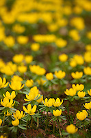 Bright yellow winter aconite (Eranthis hyemalis) blooming brightly in late winter in Oxfordshire.