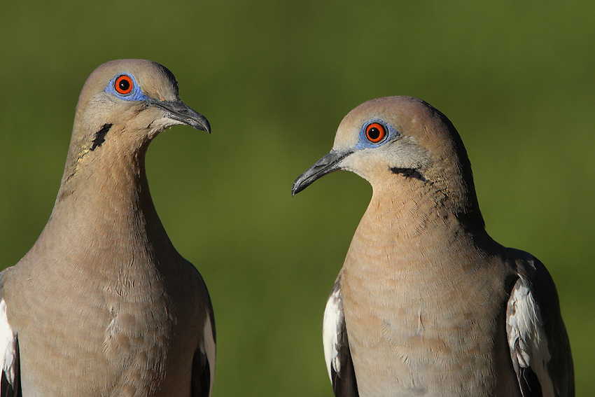 White-winged Doves can be distinguished by plumage characteristics: Males have brighter purple coloration on the crown, nape, and hindneck, and more iridescence on the sides of the neck.