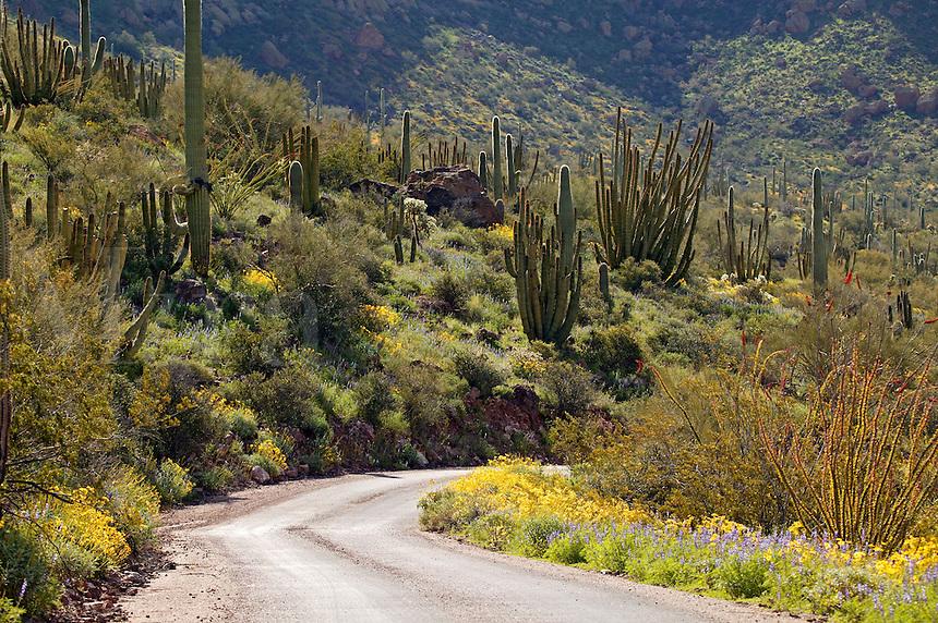 Ajo Mountain Road, Organ Pipe Cactus (Stenocereus thurberi) with Brittlebush (Encelia farinosa), Organ Pipe Cactus National Monument, Arizona