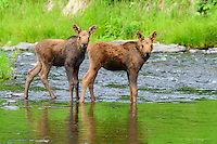 Twin baby moose offer a curious glance from the Ninilchik River during a gorgeous summer day on Alaska's Kenai Peninsula.