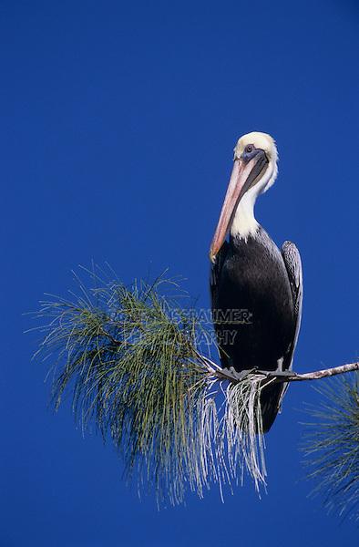 Brown Pelican, Pelecanus occidentalis, adult on pine tree, Sanibel Island, Florida, USA