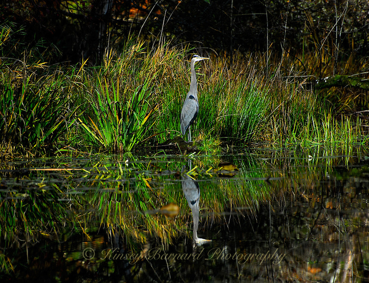 &quot;GREAT BLUE REFLECTING&quot;<br />