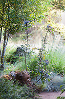 Mahonia shrub with blue berries in shady naturalistic California drought tolerant garden with sunlit grasses in morning light -The Melissa Garden, California