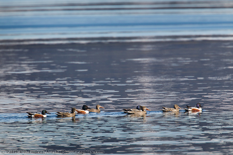A group of mating pairs of Northern shoveler ducks swim in Unakwik Inlet, Prince William Sound, Alaska.