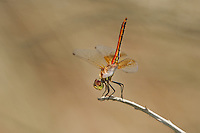 362700017 a wild male band-winged meadowhawk dragonfly  sympetrum semicintum perches on a dead stick in the obelisk position along jean leblanc canal north of bishop mono county califorina united states