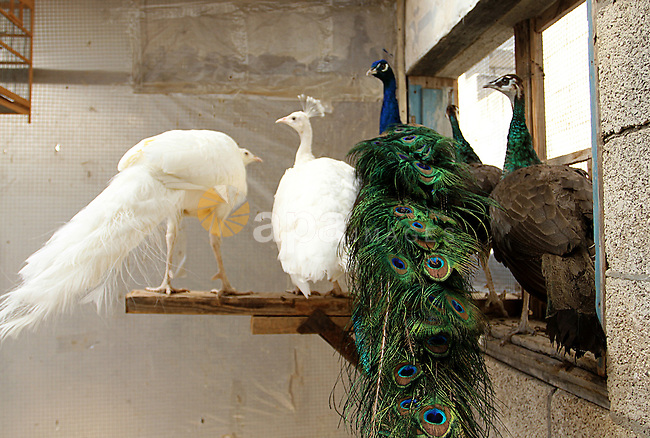 Peacocks stand at a local breeding farm in Khan Younis in the southern Gaza Strip, May 5, 2015. Male peacocks display and shake its tail feather to attract attention to female peahens during courtship. Photo by Abed Rahim Khatib