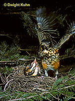 RO06-002z  American Robin - young exercising wings, ready to leave nest - Turdus migratorius