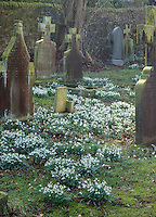 Snowdrops in St Mary's churchyard, Chipping, Lancashire.