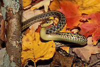 Common Garter Snake; Thamnophis sirtalis; Maine