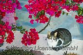 Tom Mackie, LANDSCAPES, LANDSCHAFTEN, PAISAJES, photos,+Cat & Bougainvillea, Santorini, Cyclades, Greece,Aegean, Cyclades, EU, Europa, Europe, European, Greece, Greek Islands, Medit+erranean, Santorini, Tom Mackie, bougainvillea, cat, cats, color, colorful, colour, colourful, flower, flowers, holiday desti+nation, horizontal, horizontals, landscape, landscapes, red, tourism, tourist attraction++,GBTM160439-1,#l#, EVERYDAY