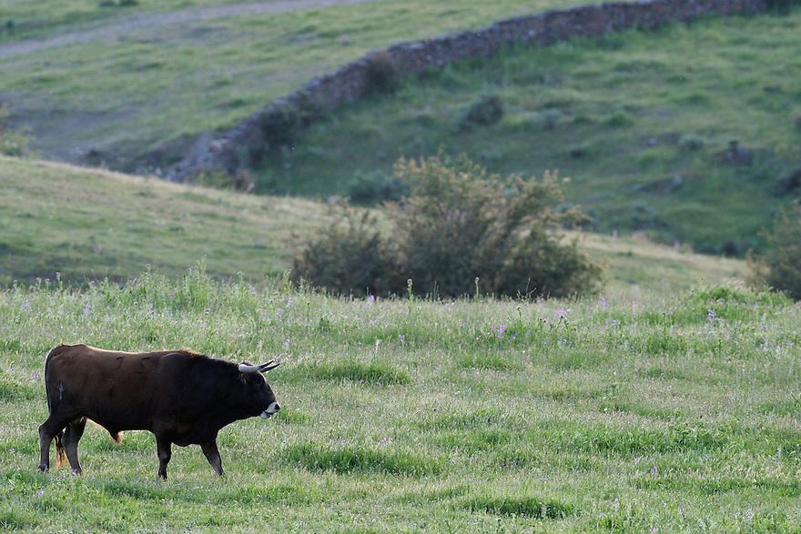 Ganado bravo, fighting bulls<br /> Ciudad Rodrigo, Salamanca Region, Castilla y Le&oacute;n, Spain