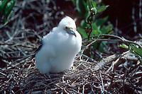 frigatebird chick, Fregata sp. Isla Genovesa, Galapagos Islands, Ecuador, Pacific Ocean