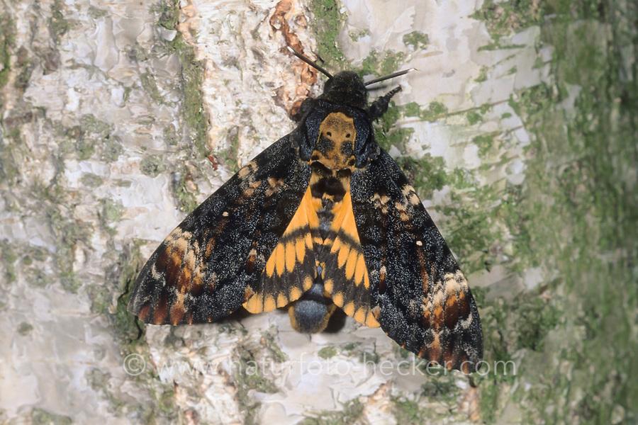 Totenkopfschwärmer, Totenkopf-Schwärmer, Acherontia atropos, Death's-head Hawk moth, Le Sphinx tête de mort, Schwärmer, Sphingidae, hawkmoths, hawk moths, sphinx moths, sphinx moth, hawk-moths, hawkmoth
