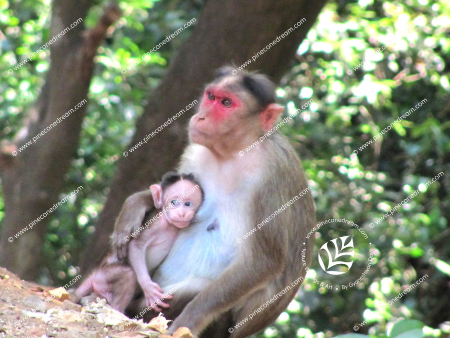 A baby monkey clinging tenderly and affectionately to her <br /> mother in the jungle