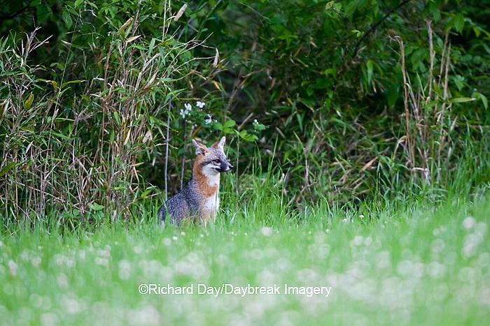 01867-00109 Gray Fox (Urocyon cinereoargenteus) female in field, Holmes Co, MS