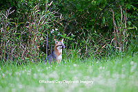 01867-00109 Gray Fox (Urocyon cinereoargenteus) female in field, Holmes Co, MS