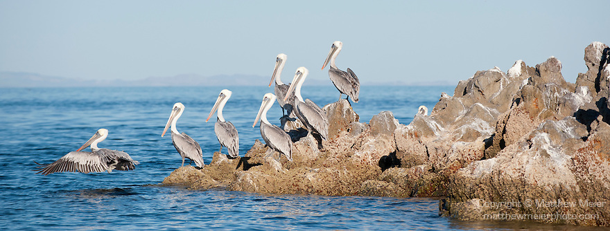 Sea of Cortez, Baja California, Mexico; several Brown Pelican (Pelecanus occidentalis) birds on the rocky shoreline while one is taking flight over the water's surface