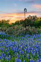 Texas Bluebonnet Sunset Landscape Vertical - Texas bluebonnets in the hill country with cactus, a windmill, and a sunset on one of the many back roads we traveled over the last six weeks is a great last minute find. It is always a delight when we can find a nice field of texas bluebonnet wildflowers with prickly pear cactus and a windmill with a great sunset in the sky for that traditional Texas Hill country landscape.  This is the iconic Texas scenery in the hill country that we have come to expect. The blue bonnet season is coming to an end for the bluebonnets in the hill country but just around the corner is the other wildflowers that should be popping up  shortly to take it place.