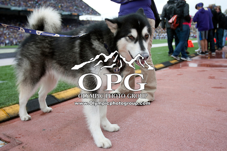 Oct 15, 2011:  Washington mascot Harry on the sidelines against Colorado.  Washington defeated Colorado 52-24 at Husky Stadium in Seattle, Washington...