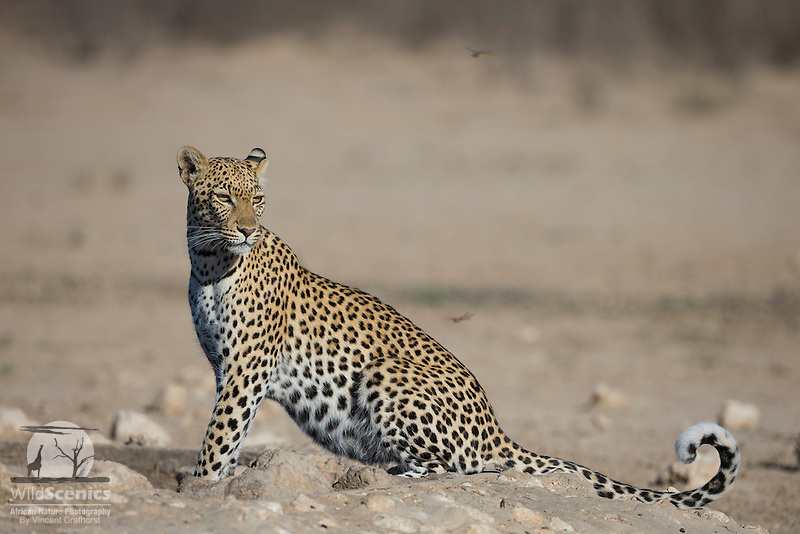 Male leopard sitting at an artificial, manmade waterhole in the Kgalagadi Transfrontier Park