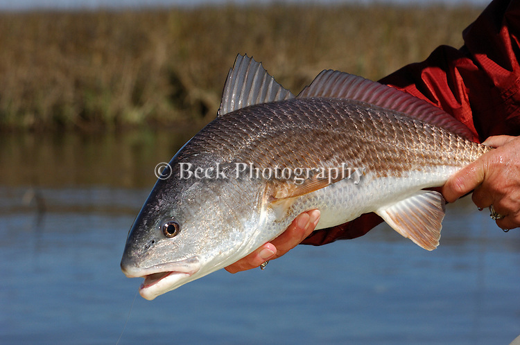 REDFISH IN LOUISIANA CAUGHT WHILE FLY FISHING
