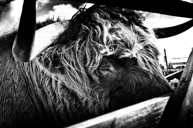 Close up daylight shot of highland bull's head looking through a gate.