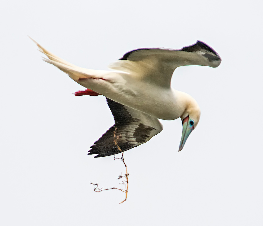 Red-footed booby (Sula sula) in flight drops nest-building material he was carrying, at the Kilauea Point National Wildlife Refuge on Kauai