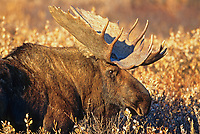 Bull Moose in autumn tundra, Denali National Park, Alaska
