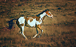 Pony; paint; pinto; western, Wyoming, horse, mustang; Bighorn Mountains; galloping; red rocks