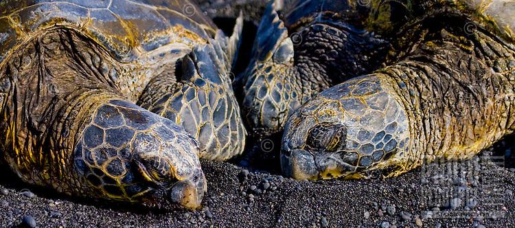 A couple of Hawksbill turtles sunbath at Punalu'u Beach on the Big Island of Hawaii