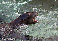 0406-1019  California Sea Lion Barking in Water, Zalophus californianus  © David Kuhn/Dwight Kuhn Photography.