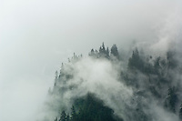 Fog in Sitka spruce trees