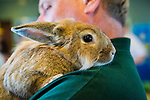 Seaford, New York, U.S. 20th July 2013. GLENN KEARNEY is carrying MAPLE the rabbit at the Tackapuahsa Museum and Preserve on Science Exploration Moon Day, presented by Long Island Fringe Festival 5. Maple has been living at Tackapausha ever since he was abandoned there as a little bunny soon after Easter.