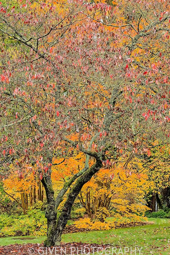 Prune with Crepe Myrtle, Seattle, Washington