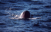 Sperm Whale, Physeter macrocephalus,spyhopping, Bleik canyon, Norwegian sea, Arctic, North Atlantic